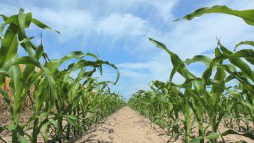 Juvenile Corn