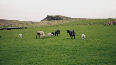 Sheeps and Lambs
