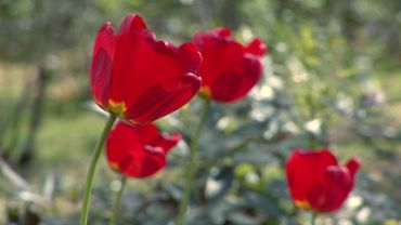 Red Tulips (HD)
