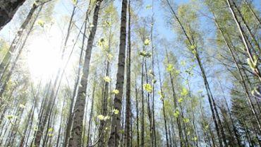 Sunny birch forest in springtime
