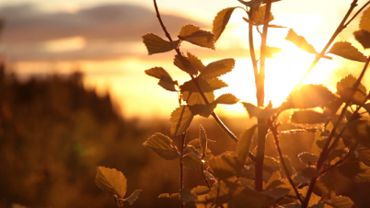 Birch leaves in the evening sun