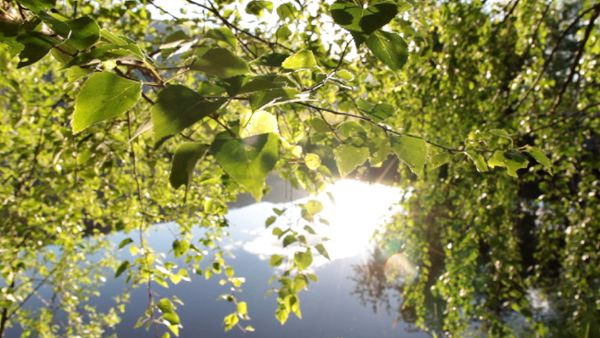 Birch tree in the sun