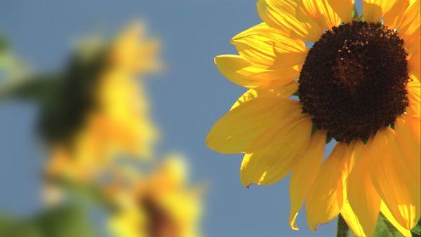 Sunflowers (HD)
