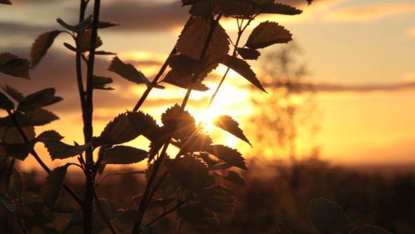 Birch tree in the evening sun