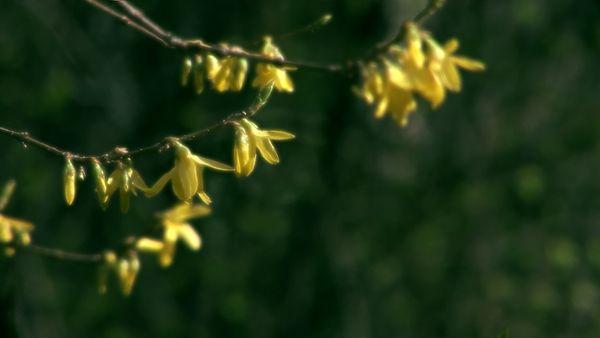 Frühlingsknospen - 03 (HD)