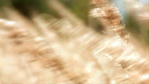 Wavy Corn - 01 (HD)