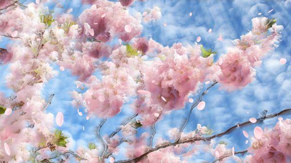 Flowering cherry background loop